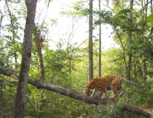 (縮小) Amur tiger (400x309)