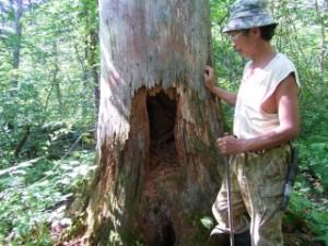 (写真) ツキノワグマの使った樹洞とウデヘ猟師ヤコフ・カンチュガさん。夏のビキンで