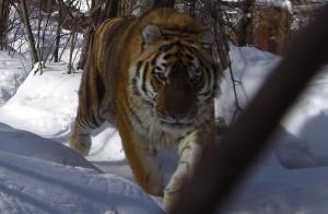 【写真】 雄のアムールトラ「リューティー」20歳。1歳のころ母親を失ってハバロフスク地方 クトゥゾフカ村の「野生動物リハビリテーションセンター」で生活中