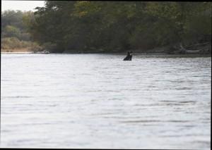 (写真) ビキン川のツキノワグマ (撮影 : クラスニヤール村のトロフィム君)