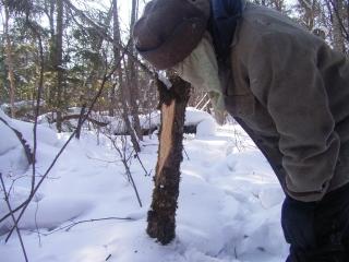 (写真) アカシカが樹の皮を食べた跡。ビキン川、ウリマ山のふもとで