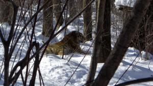 #07 Male Amur Tiger