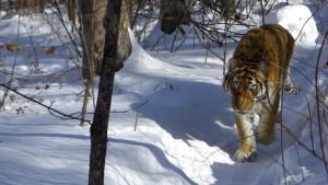 #14 Male Amur Tiger