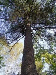 Dszd to 384x512_Korean pine in Bikin, September 2007