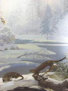 【PHOTO】 生息地でのユーラシアカワウソの様子を再現したハバロフスクの博物館(極東博物館)の展示(はく製)