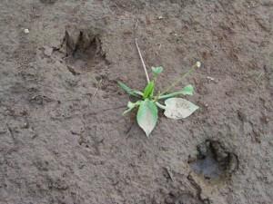 【PHOTO】 上の写真の川原にあったユーラシアカワウソの足跡、2005年8月 (クリックで拡大)