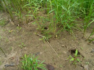 Dszd_Wildboar Footprints, Bikin, July 2005