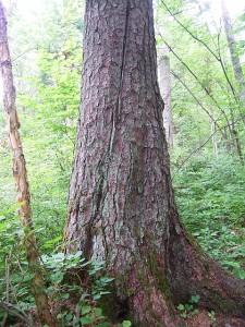 Dszd_Korean pine on Mt. Ulyma, Bikin River