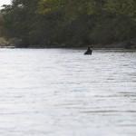1385x973_Black bear in the Bikin river