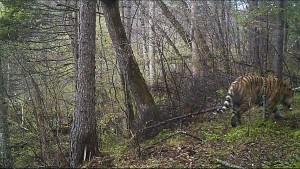野生のトラ!写った!