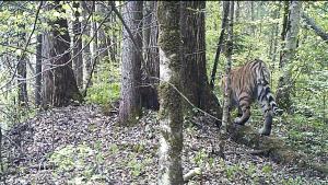 別の場所で写った、もう一頭のトラ!後ろ姿!